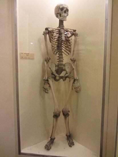 differences between human bones & artefacts - portal myhealth, Skeleton