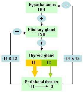 Thyroid Function Test - PORTAL MyHEALTH