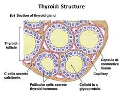Thyroid Function Test Portal Myhealth
