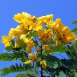 Cassia angustifolia (Senna)