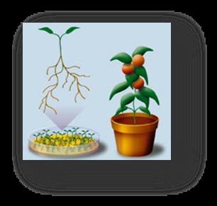 Sel tomato akan tumbuh dan berkembang