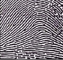 Arches type fingerprints Left u2013 Plain Arch Right u2013 Tented Arch (source .sciencespot.net/Media/FrnsScience/Fingerprintbasicscard)  sc 1 st  Portal MyHEALTH & Fingerprint In Forensic - PORTAL MyHEALTH